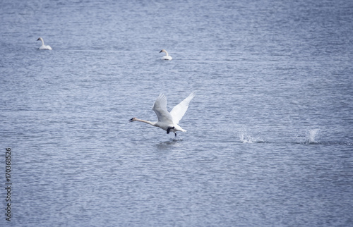 Foto op Plexiglas Canada Trumpeter Swan Taking Off