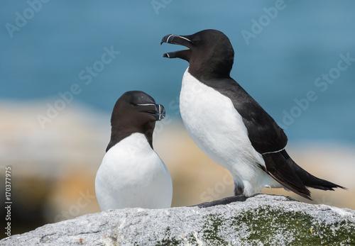 Aluminium Pinguin Razorbill