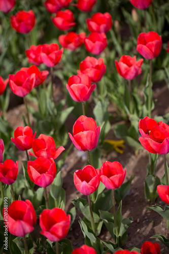 Fotobehang Tulpen Beautiful red tulips in nature
