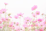 Fototapeta Fototapety kosmos - Soft and blurred focus Cosmos flower on white background © applezoomzoom