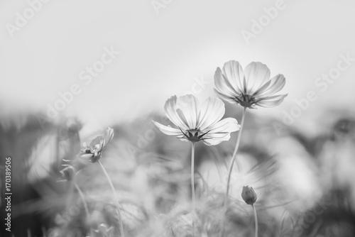 Cosmos flower - 170389506
