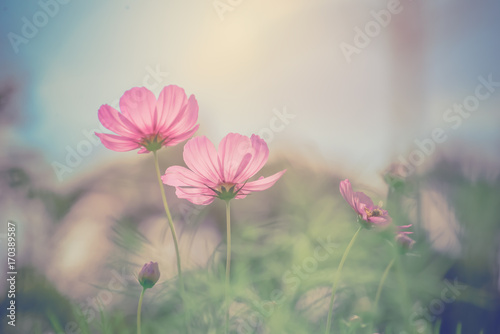 Cosmos flower on vintage background - 170389587