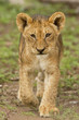 Cub Walk Portrait