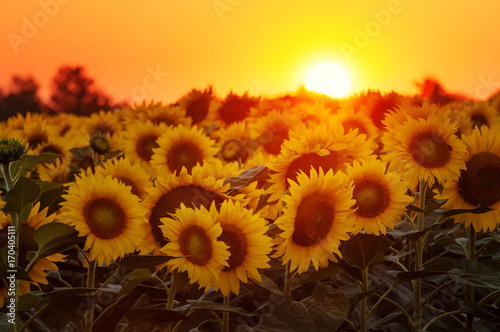Staande foto Oranje eclat Setting sun on the sunflower field