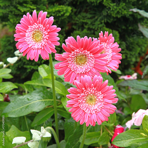 Fotobehang Gerbera Gerbera rose