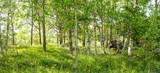 Vildvuxen skogskulle med björkar och högt gräs