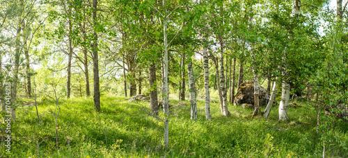 Fotobehang Stockholm Vildvuxen skogskulle med björkar och högt gräs