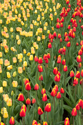 Fotobehang Tulpen Beautiful spring tulips