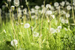 some dandelions on a spring meadow - 170424566