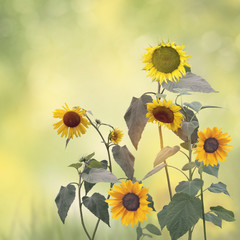 Image of Sunflowers blooming