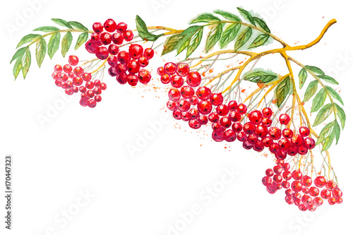 Beautiful hand drawn watercolor branches of Rowanberry with leaves, isolated on the white horizontal background with empty place for your text - 170447323