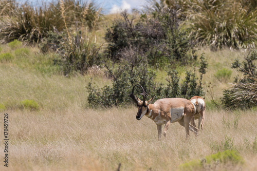Fotobehang Arizona Pronghorn antelope Buck on the Prairie