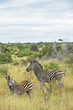 Adult Zebra and foal