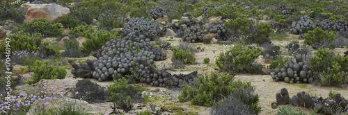 Foto op Aluminium Khaki Clumps of cacti Copiapoa De Carrizal (Copiapoa dealbata) in the Atacama Desert. Parque Nacional Llanos de Challe, near Vallenar in northern Chile.