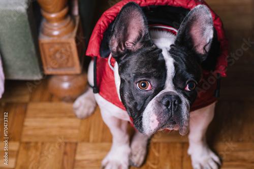 Fotobehang Franse bulldog Cute French Bulldog