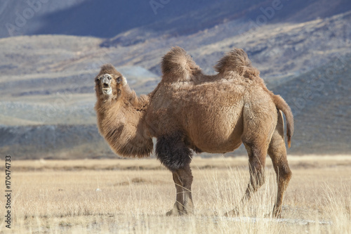 Fotobehang Kameel Bactrian Camel, Altai Tavan Bogd National Park, Mongolia