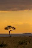 Acacia Tree in Masai Mara at Sunset