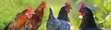 hen and rooster in the garden on a farm - free breeding - 170480186