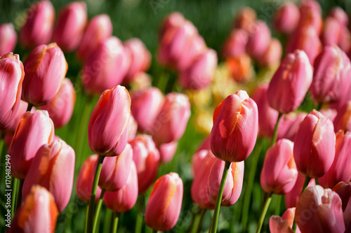 Papiers peints Bordeaux Blooming tulips flowerbed in Keukenhof flower garden, Netherland