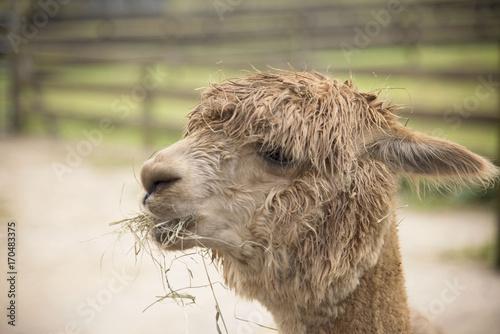 Fotobehang Kameel Island Alpaca