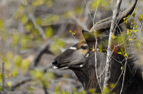 Nyala in the wood Poster