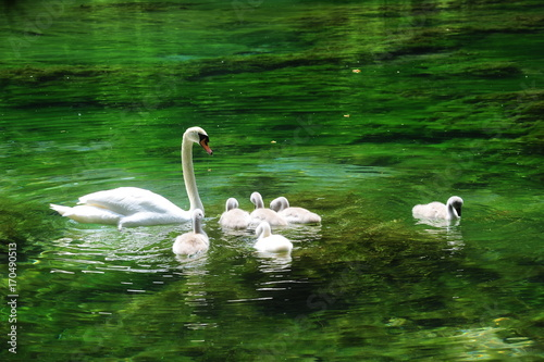 Fotobehang Zwaan Swan,Swimming,Turkey