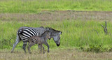 Zebra mother with small one in Mikumi national park, Tanzania