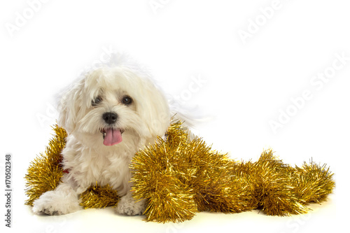 Lovely bichon on white background at Christmas