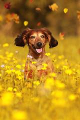 Senior Dachshund dog sitting in autumn meadow
