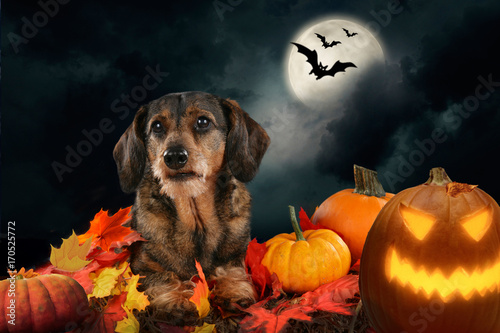 Dachshund dog lying beside pumpkins - halloween