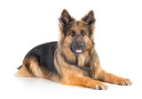 German shepherd long-haired dog lying isolated - 170533109
