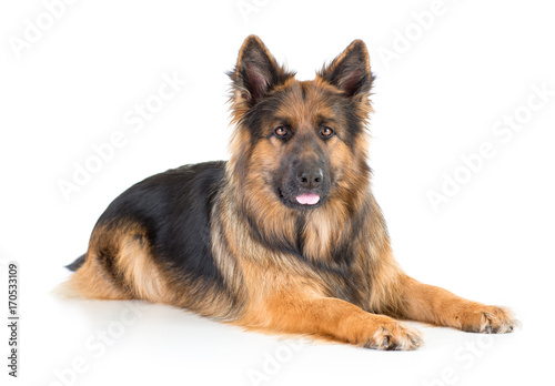 German shepherd long-haired dog lying isolated
