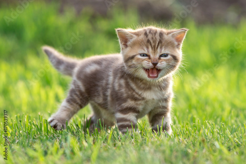 Foto op Plexiglas Natuur Young cute cat meowing outdoor