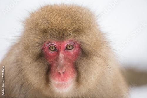 Aluminium Aap 日本猿