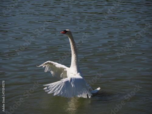 Fotobehang Zwaan Swan Dance