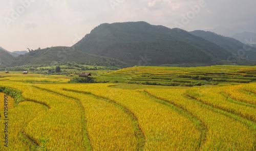 Fotobehang Honing Landscape of rice field in Vietnam.