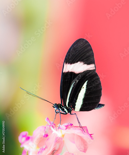 Aluminium Vlinder Tropical Passion-vine butterfly