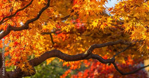 Plexiglas Herfst autunm trees