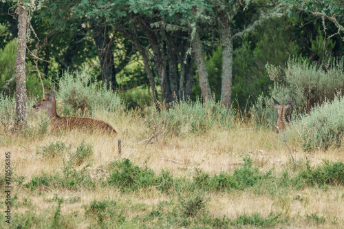 Mom and baby deer laid down in the wilderness Poster