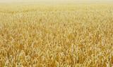 Wheat field - 170559381