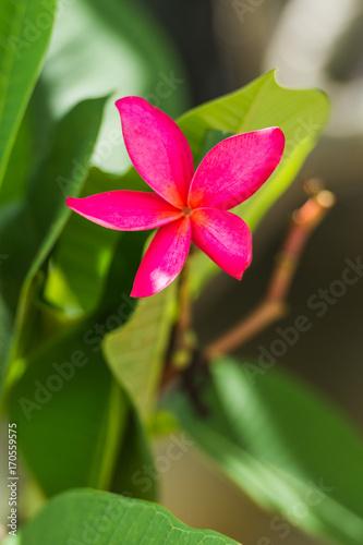 Fotobehang Plumeria Pink frangipani flower