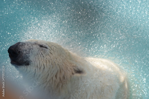 Fotobehang Ijsbeer Orso Polare