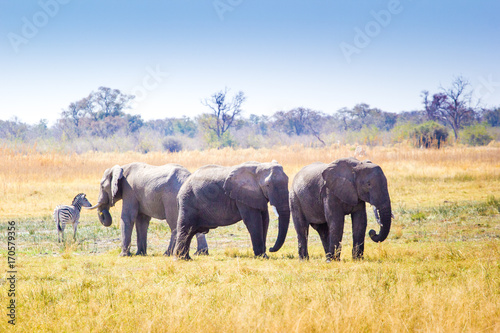 Wild elephants, Okavango Delta, Botswana Poster