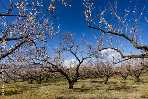 Aluminium Berkenbos 松田山の早春、河津桜の咲く公園
