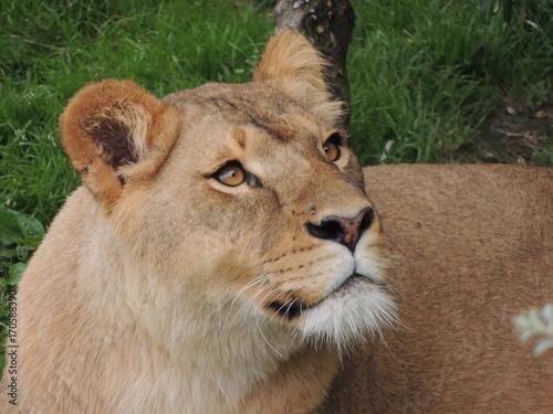 Fotobehang Lion Lionne
