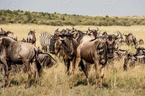 Wildebeest migration Poster