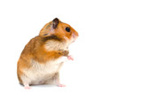 Cute Syrian hamster standing on its hind legs and looking sideward with attention (isolated on white), with copy space on the right