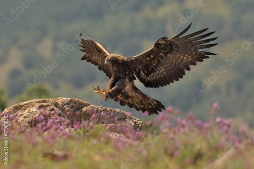 Canvas Eagle Golden eagle fly