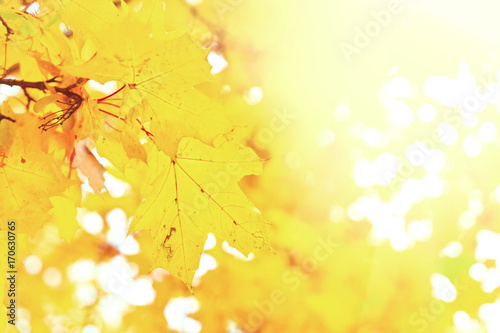 Papiers peints Jaune de seuffre Vibrant yellow maple fall tree foliage background, retro toned