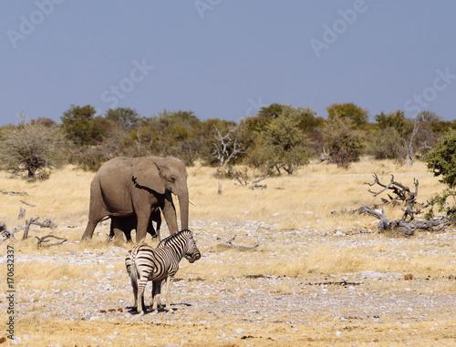 Elephant Zebre Poster